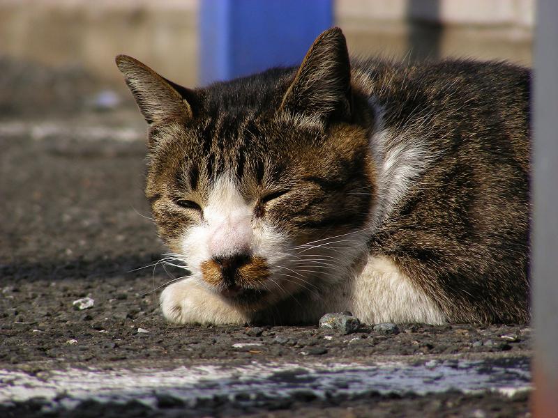 日差しを浴びてる駐車場のキジ白猫1