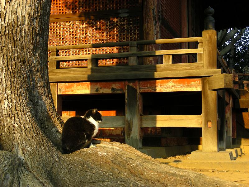 神社神木と黒白猫2