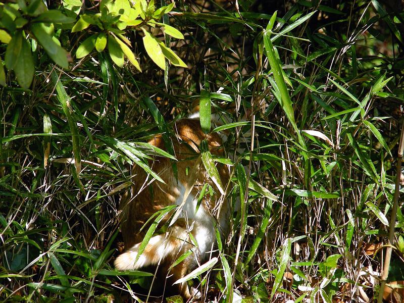 茂みの茶白猫2