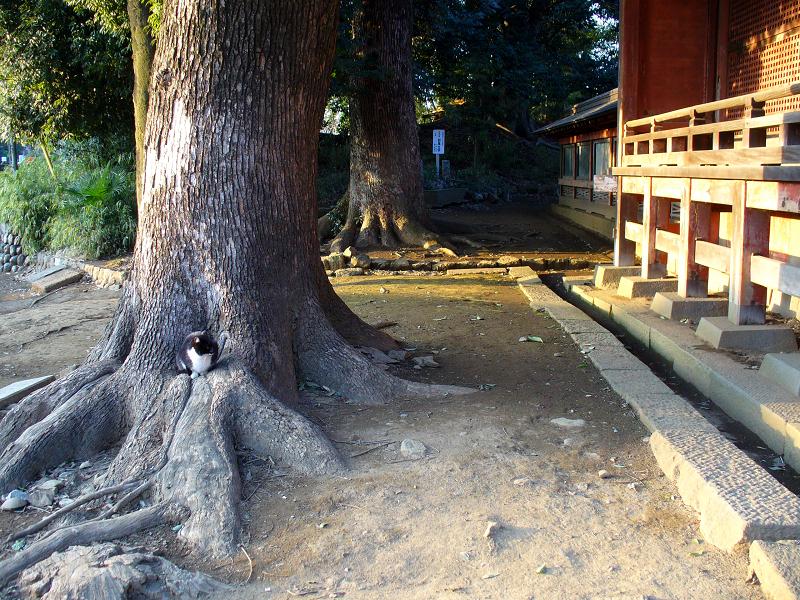 神社神木と黒白猫3