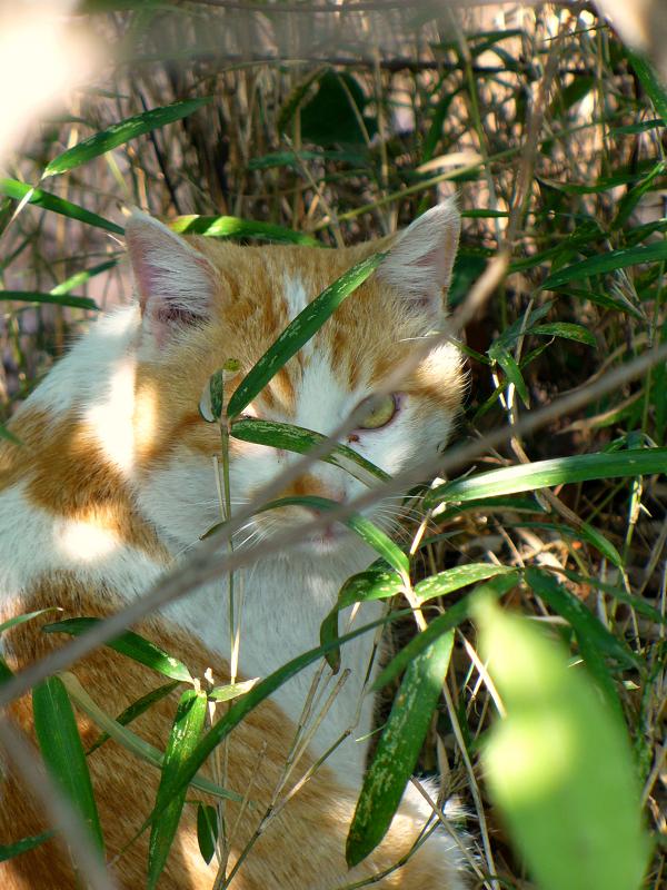 茂みの茶白猫3