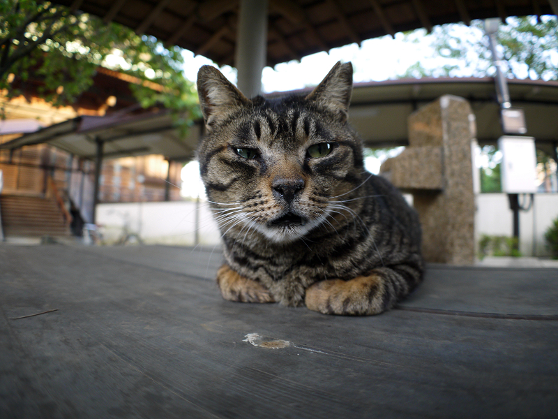 井戸蓋上のキジトラ猫1