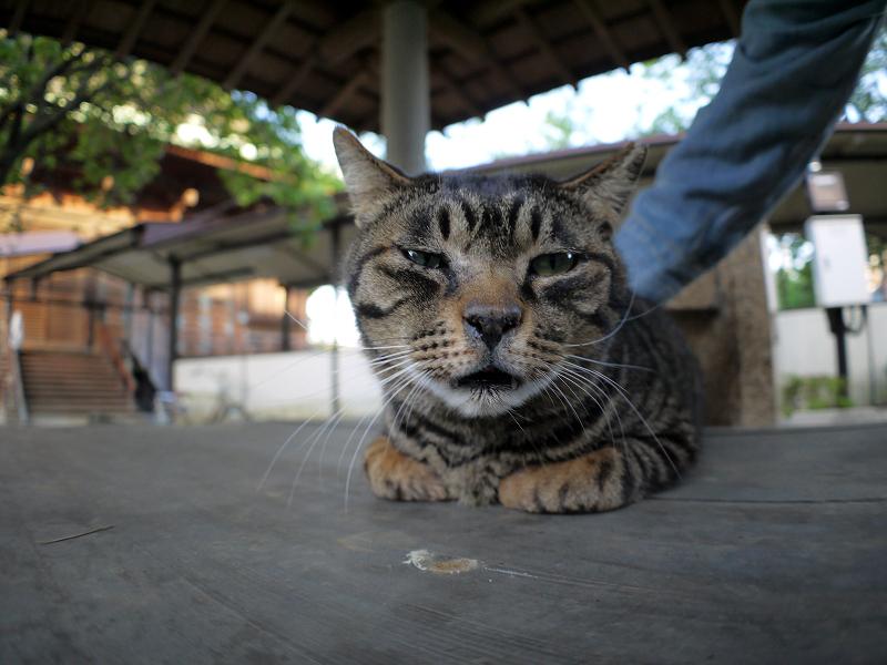 井戸蓋上のキジトラ猫2