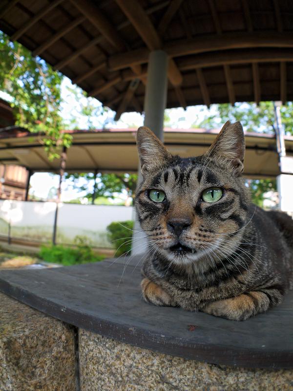 井戸の蓋上のキジトラ猫2