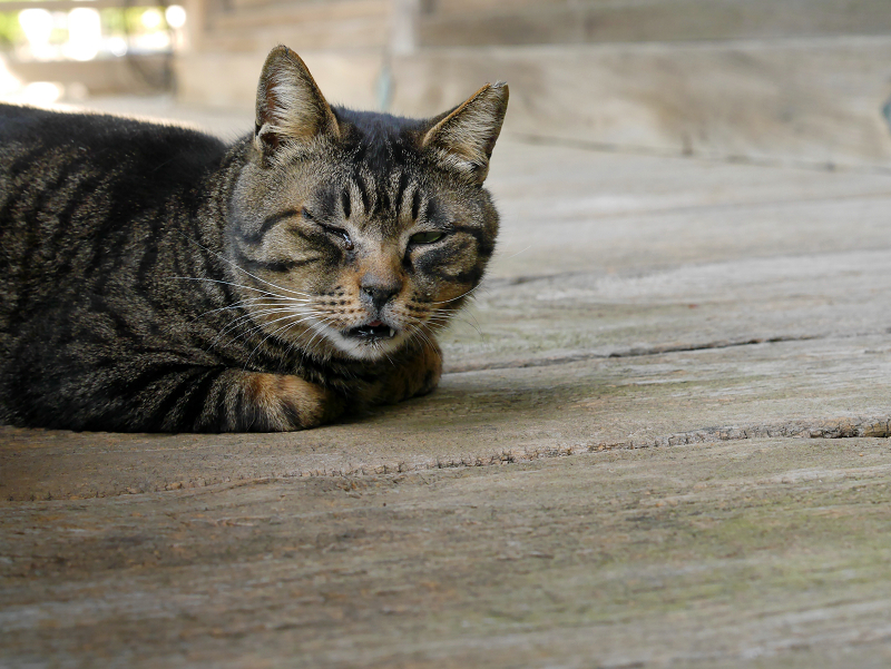 濡れ縁で昼寝中のキジトラ猫2