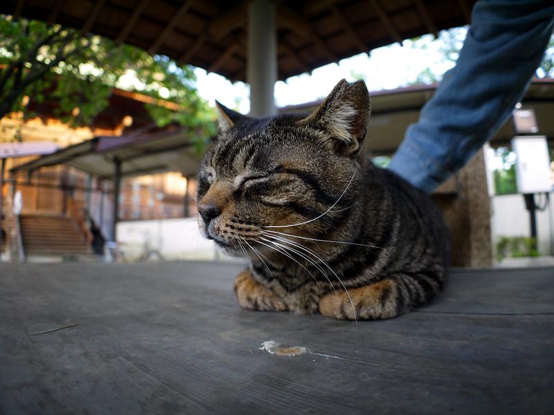 井戸蓋上のキジトラ猫4