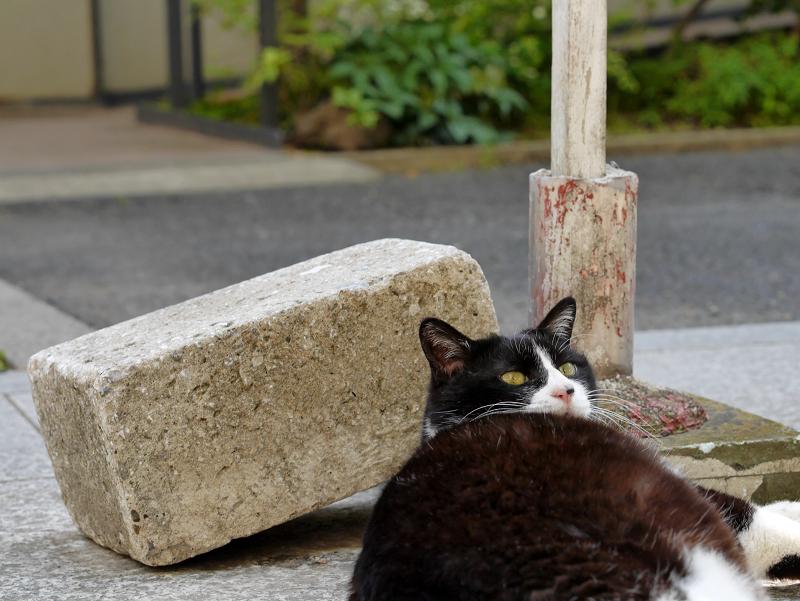 参道で振り返る黒白猫1