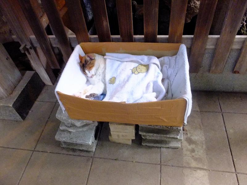 手水舎裏の猫ハウス内の三毛猫1