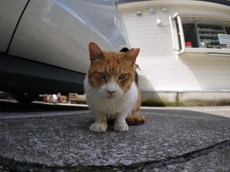 ローアングル茶白猫1