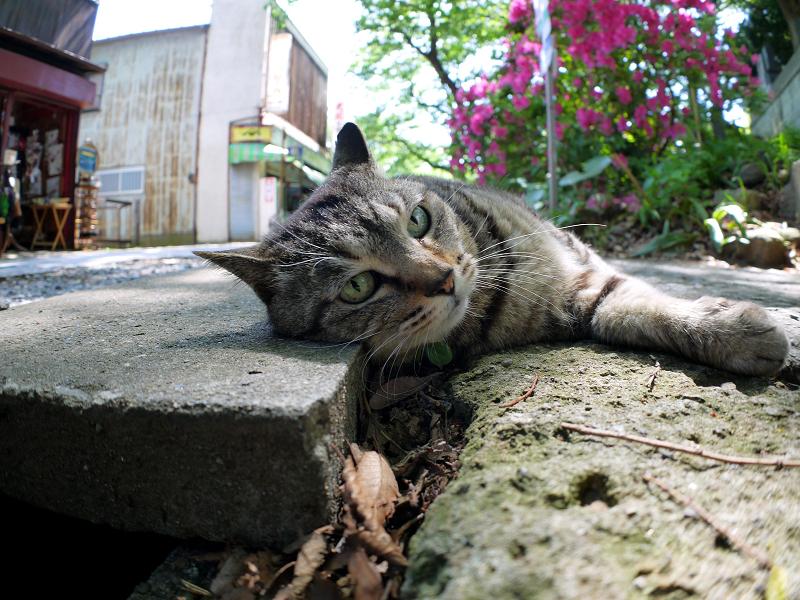 側溝足場板横のキジトラ猫1