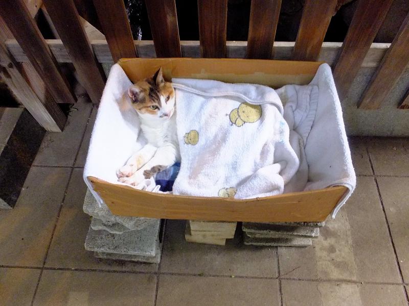 手水舎裏の猫ハウス内の三毛猫2