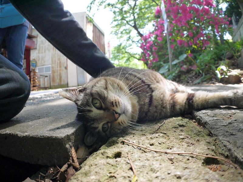 側溝足場板横のキジトラ猫2