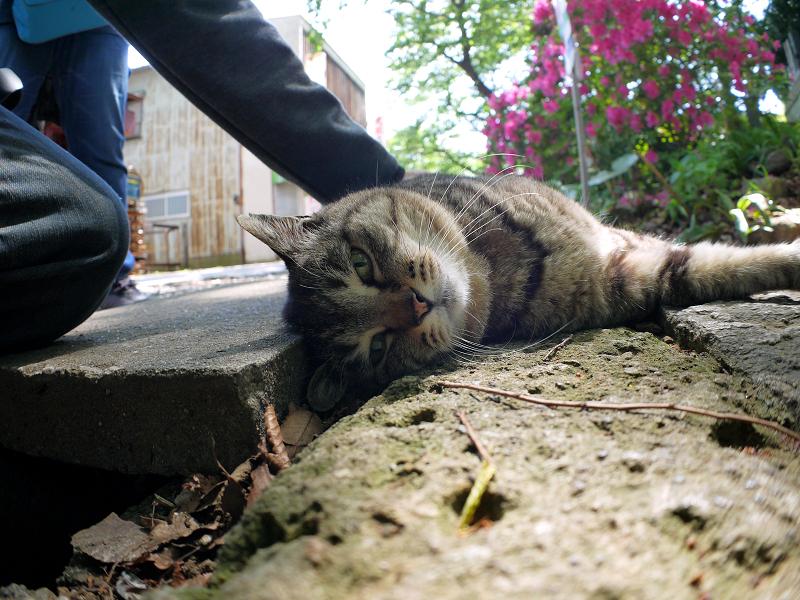 側溝足場板横のキジトラ猫3