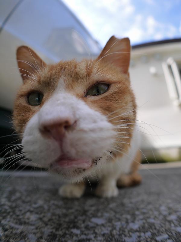 ローアングル茶白猫4