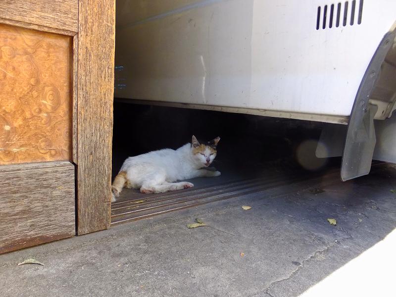 店内車の下の白茶猫1