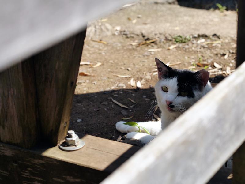 木の柵越しの黒白猫1