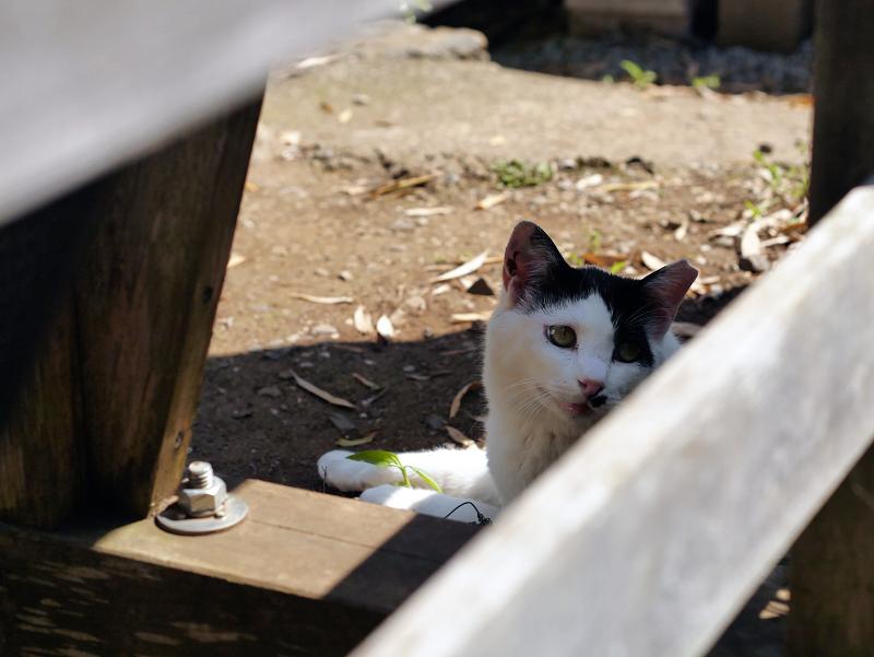 木の柵越しの黒白猫2