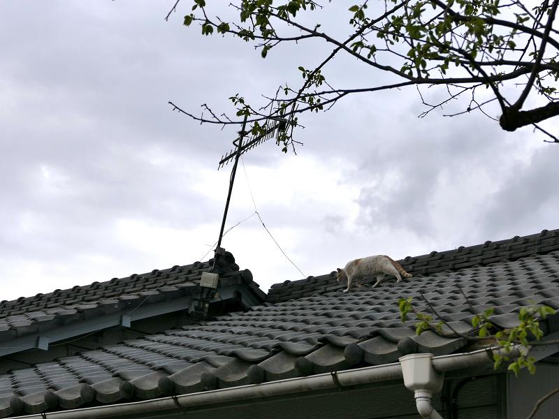 大屋根を歩く白茶猫1