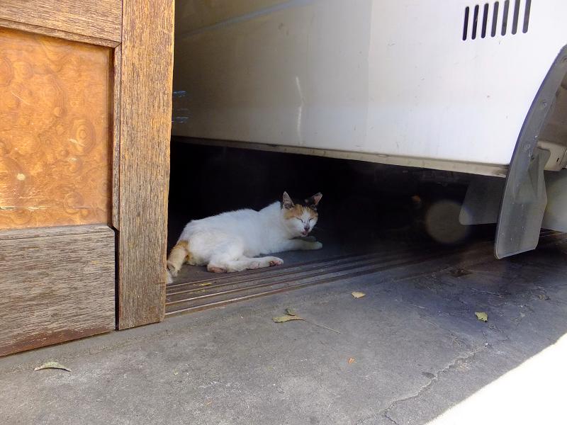 店内車の下の白茶猫2