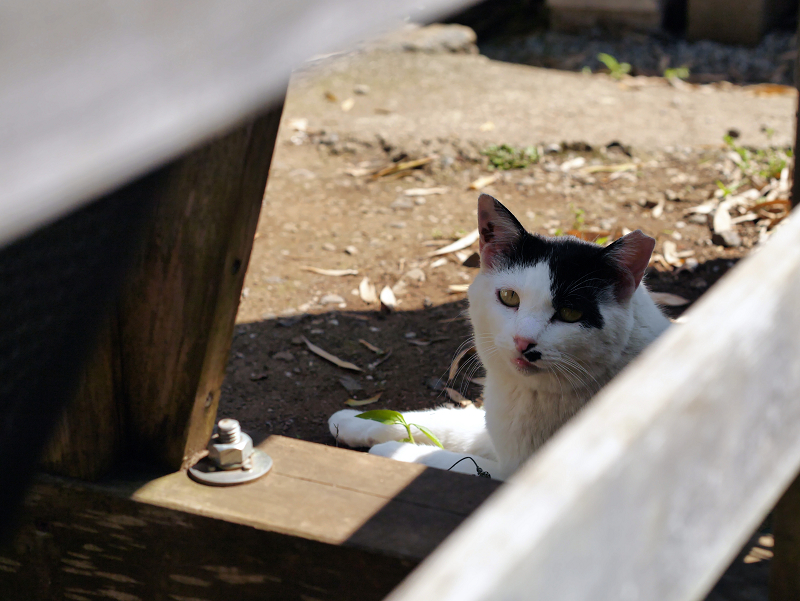 木の柵越しの黒白猫3