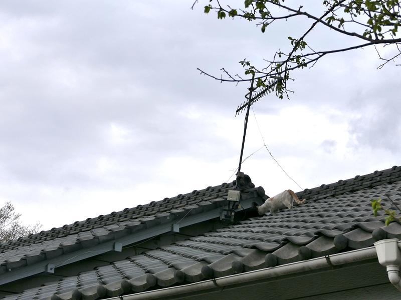 大屋根を歩く白茶猫2