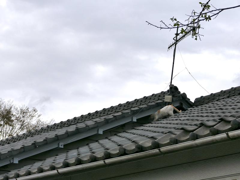 大屋根を歩く白茶猫3