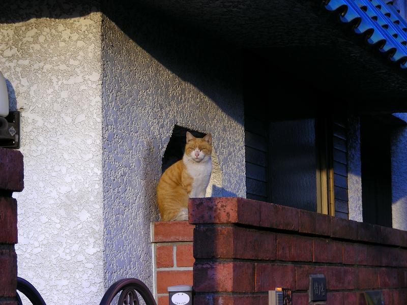 民家の茶白猫1
