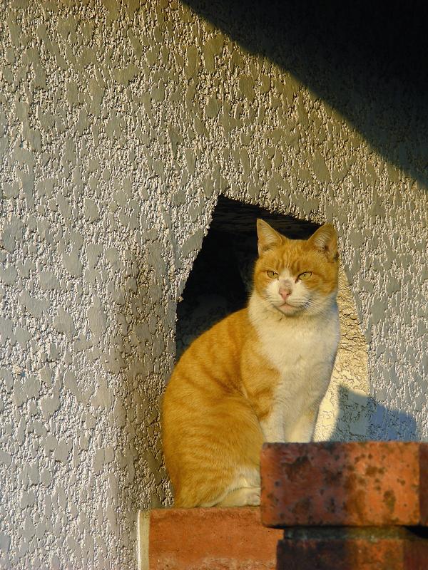 民家の茶白猫2