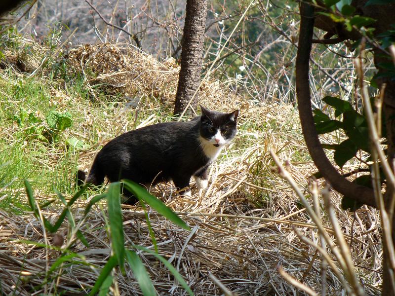 草むらの黒白猫2