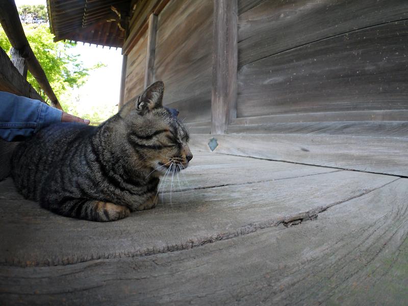 濡れ縁大アクビのキジトラ猫1