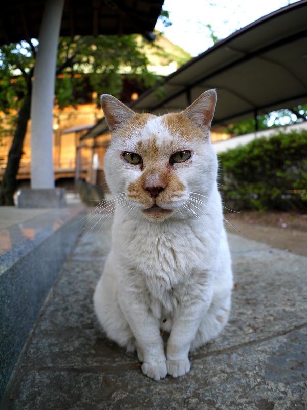 綺麗な座り方の茶白猫1
