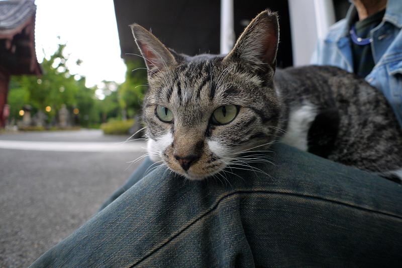 膝に載ってるキジ白猫1