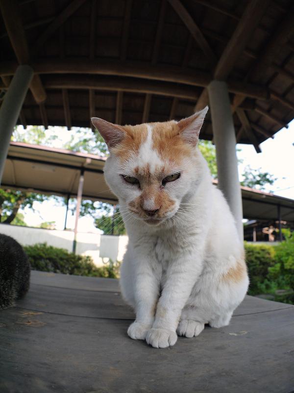 井戸蓋上の白茶猫1