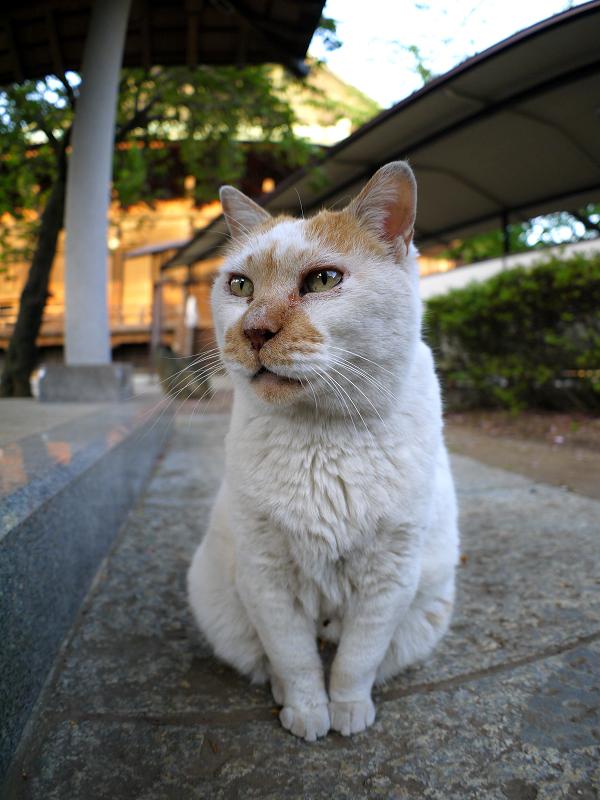 綺麗な座り方の茶白猫2