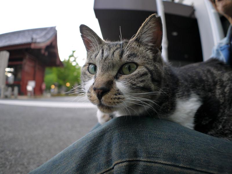 膝に載ってるキジ白猫2
