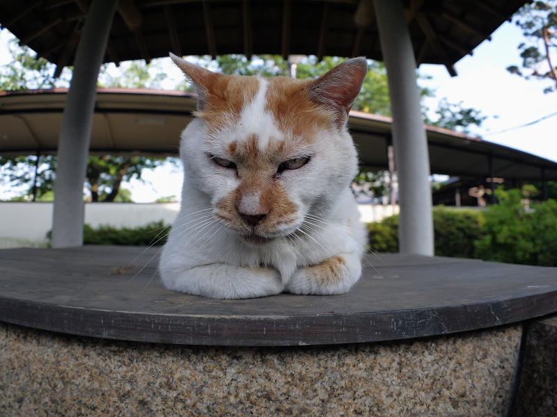 井戸蓋上の白茶猫2