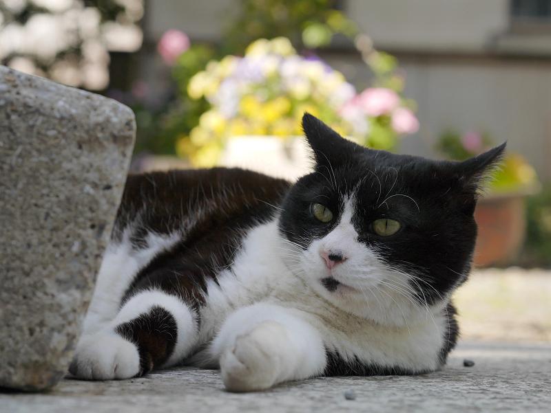 参道花と黒白猫1