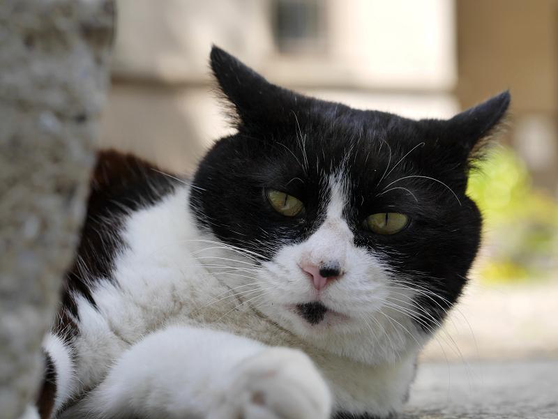 参道花と黒白猫2