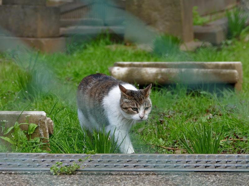 草地を歩くキジ白猫1