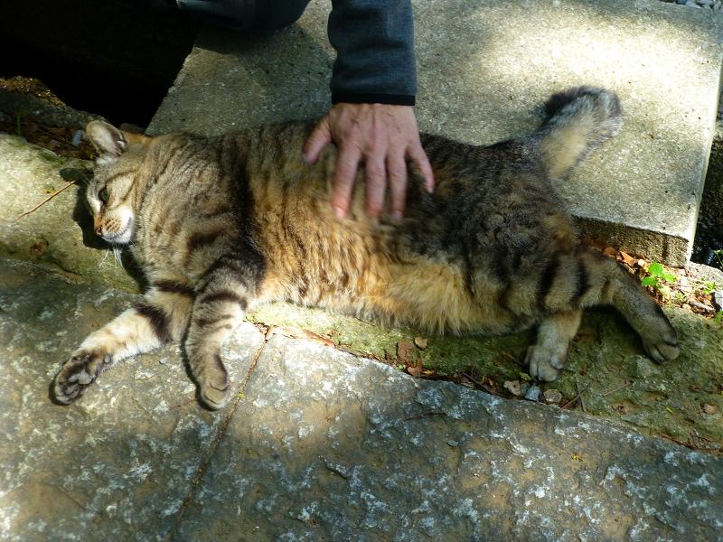 脇腹を触られるキジトラ猫1