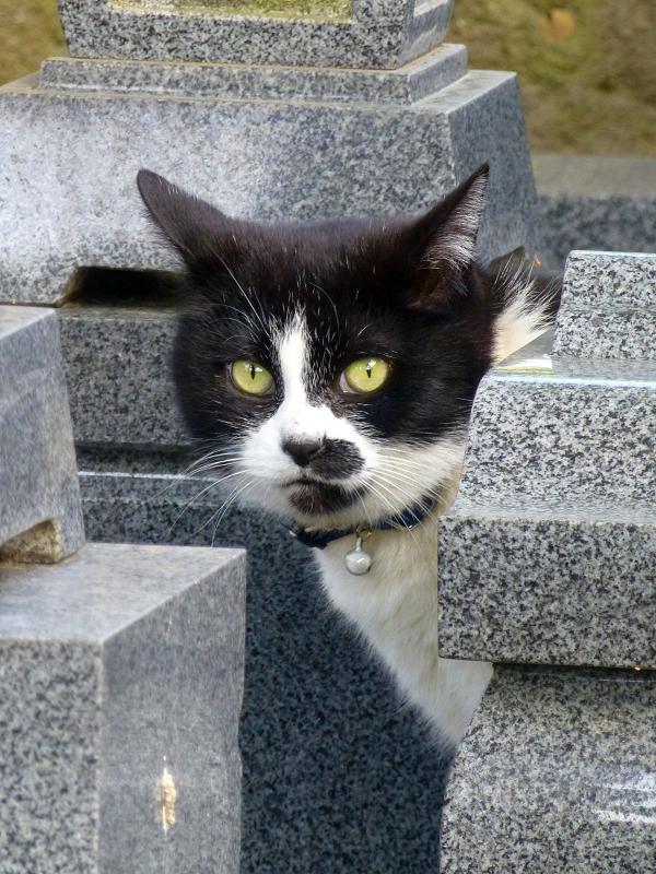 墓苑の黒白猫