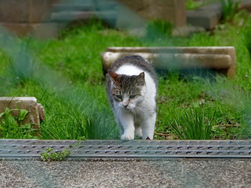 草地を歩くキジ白猫2