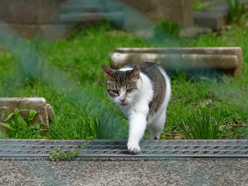 草地を歩くキジ白猫3
