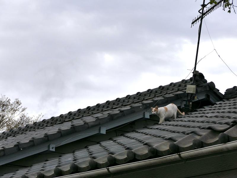 屋根瓦を歩く茶白猫1