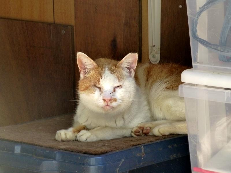 日差し指すハウスの茶白猫1