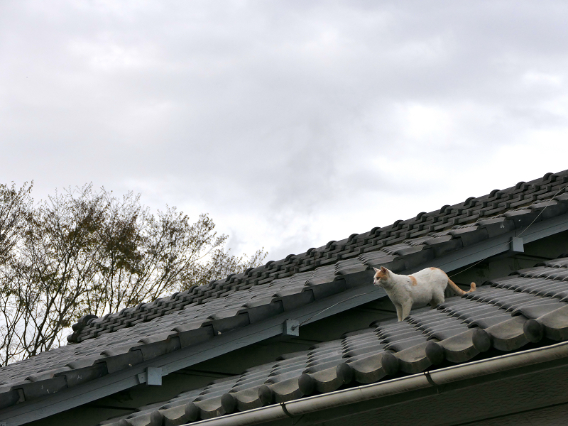 屋根瓦を歩く茶白猫2