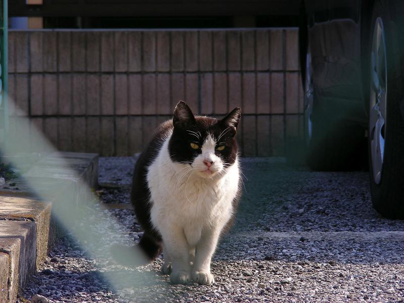 駐車場で見つめる黒白猫1