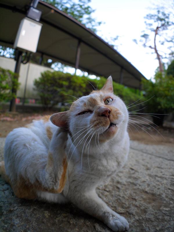カキカキの茶白猫