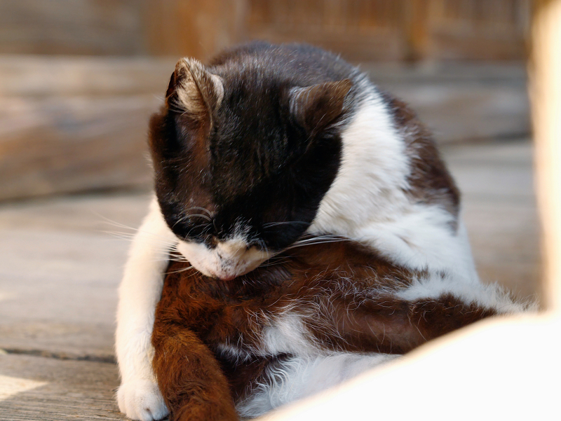 捻じりながら毛づくろいする黒白猫1