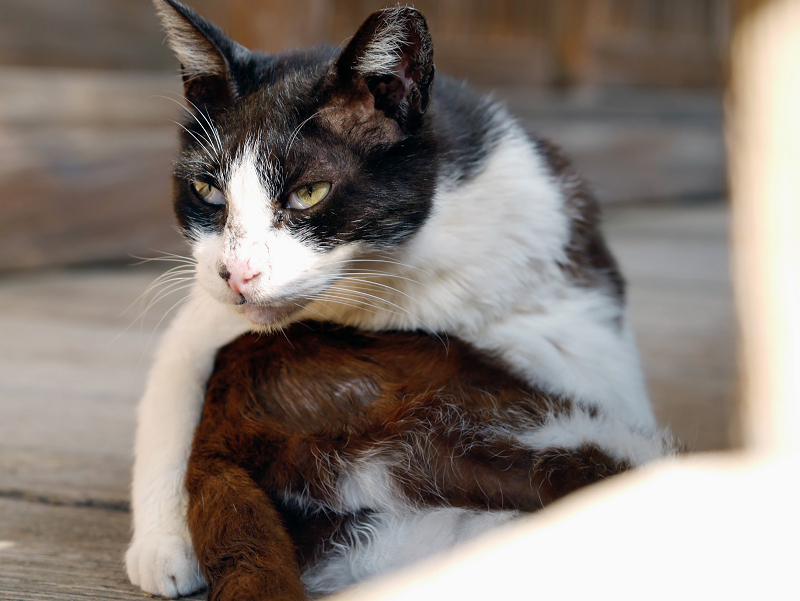 捻じりながら毛づくろいする黒白猫2
